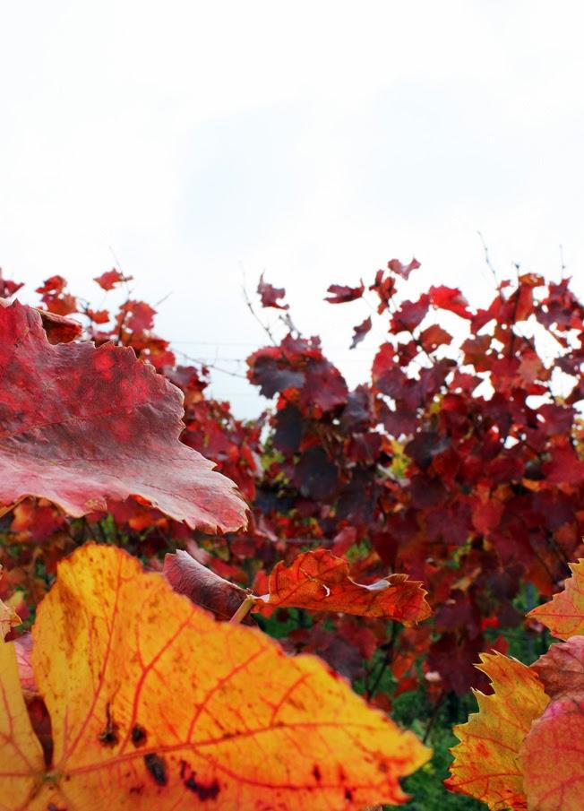Weinwanderung, Pfalz, Trauben, Weinlaub, Herbst