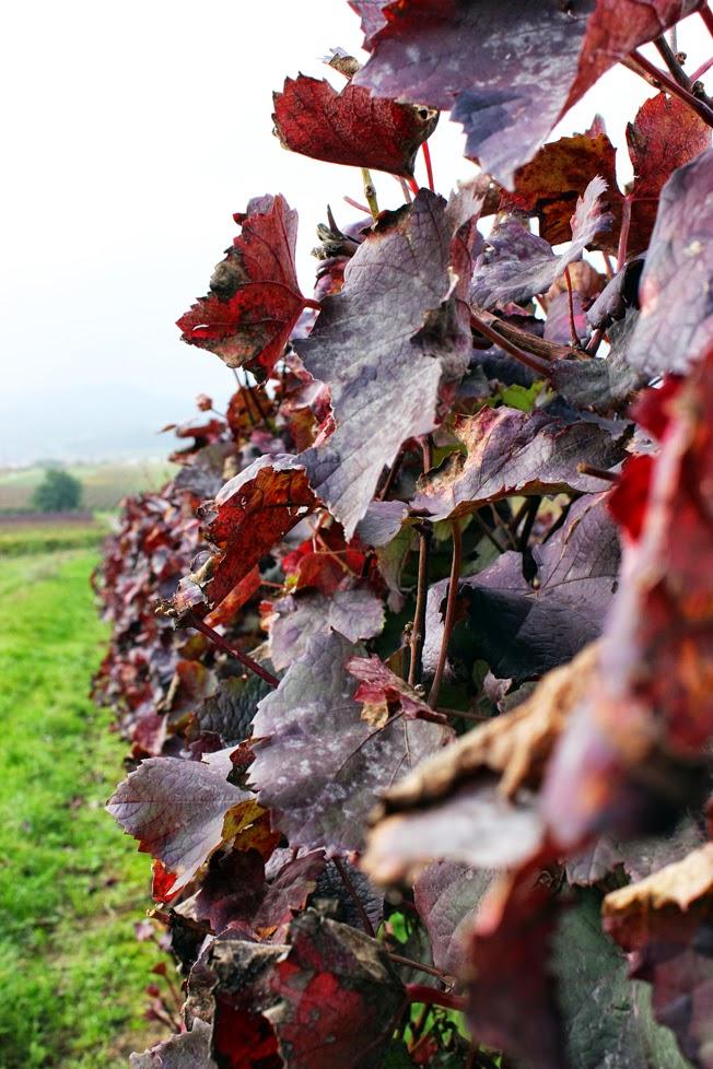 Weinwanderung, Pfalz, Weinlaub, rot, Weinberg