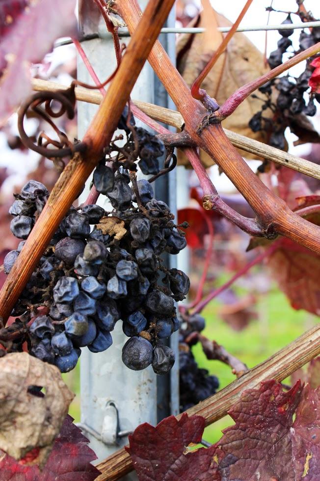 Weinwanderung, Pfalz, Trauben, blau, Weinrebe