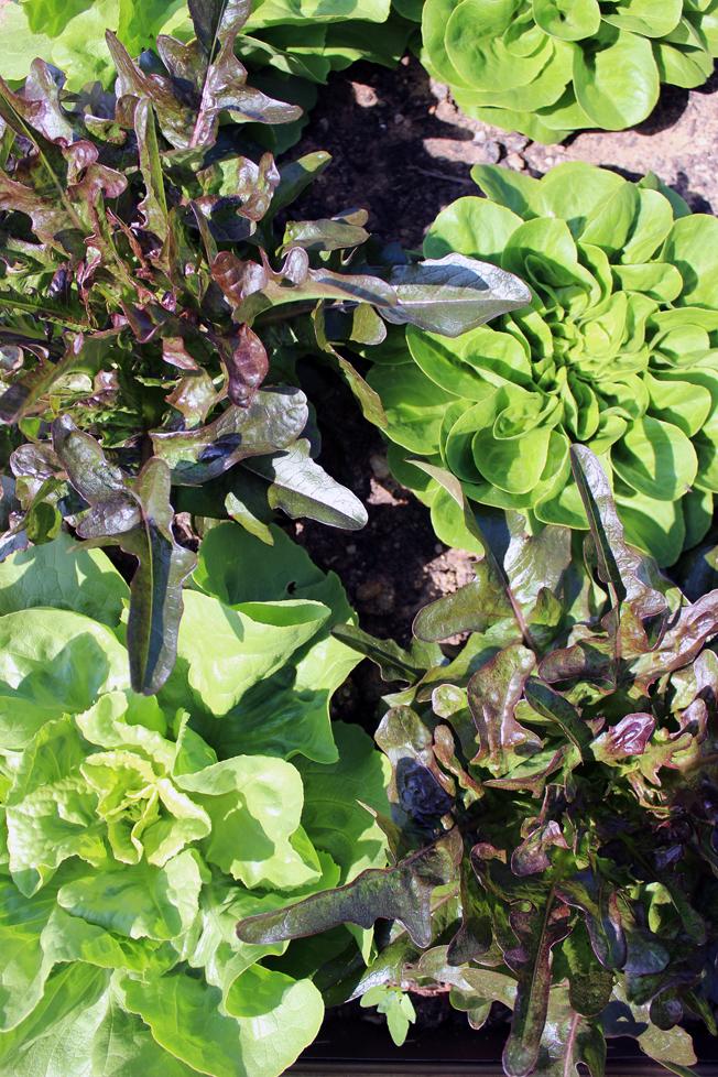 Hochbeet-Salat-anbauen-blog-jennadores-garten-Superfood-Healthy-urbangardening-frühjahr