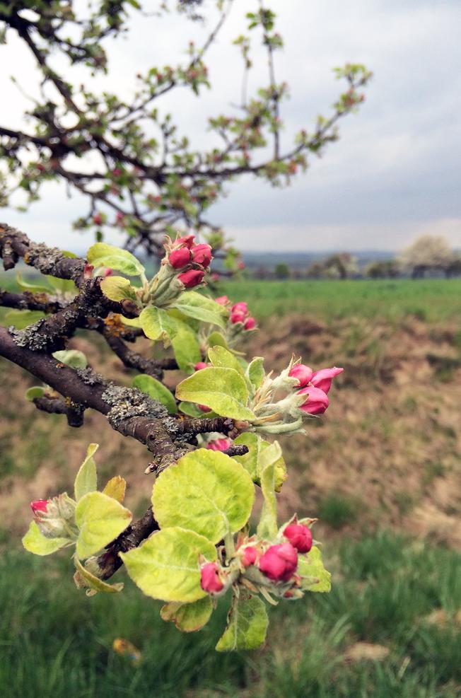 Apfelblüte-Wehrheim-Apfeldorf-Blog-Jennadores-Rezept-rosa-Blüten-Frühling-Hessenpark