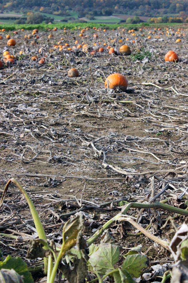 Halloween-Kürbis-Blog-Jennadores-Kürbisfeld-Ernte