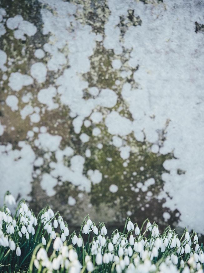 Scheegloeckchen, Betonwand, Fruehjahrsblueher, Garten, Tipps, Winterblues