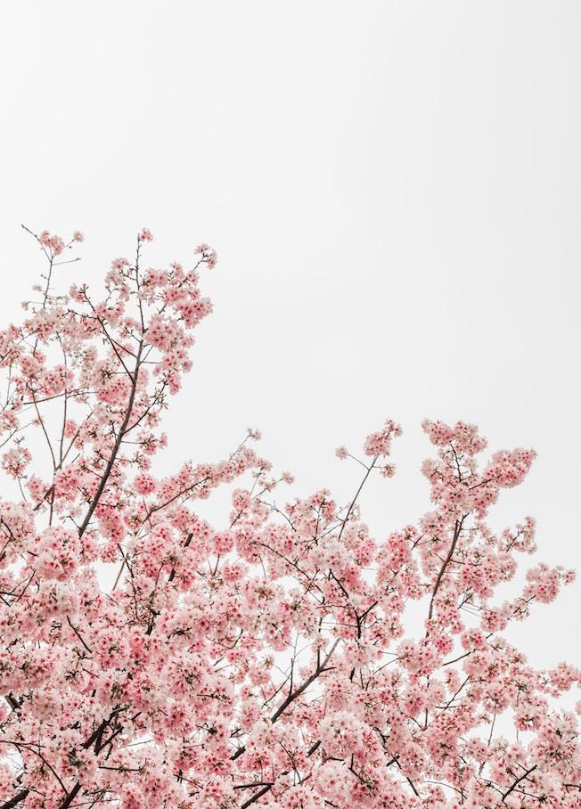 Kirschblüte, Japan, Frühling, blauer Himmel, gute Laune