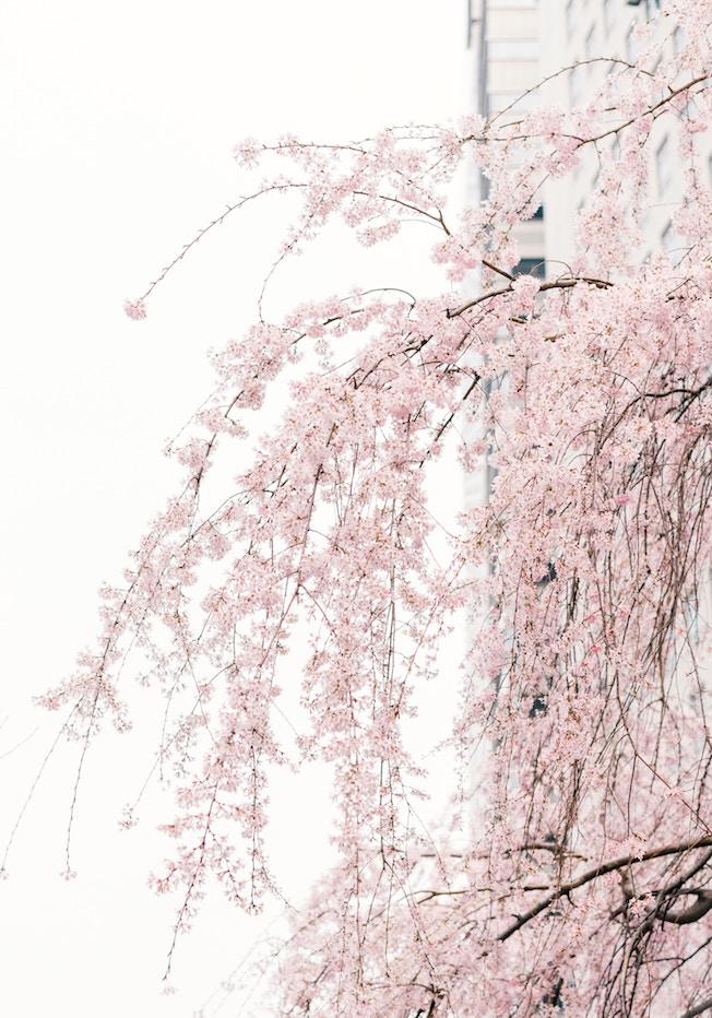 Kirschblüte, Japan, Frühling, gute Laune