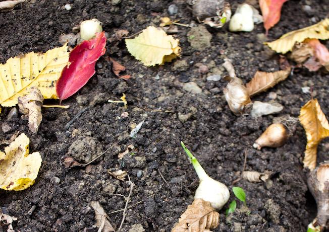 Blumenzwiebeln stecken im Herbst, Beet mit Herbstlaub, Allium Ping Pong, Blog Jennadores
