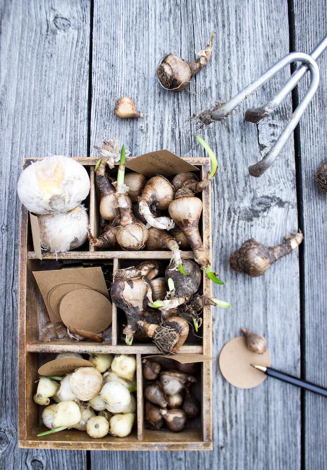 Blumenzwiebeln stecken, Herbst, Tipps, Blog, Jennadores, Allium, Schneeglöckchen